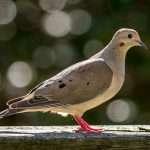 Shooting and Hunting Dove